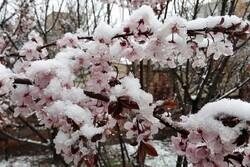 کاهش محسوس دما و یخبندان بهاری در شهرستان کاشان