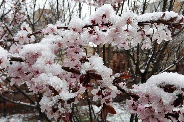 احتمال سرمازدگی باغات خراسان شمالی تا صبح فردا ادامه دارد