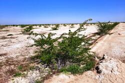 اقدامات بیابان زدایی در استان ایلام ارزشمند است