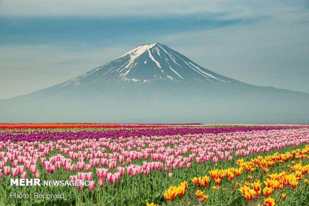 صور جميلة من جمال ورود الربيع في مناطق مختلفة من العالم/ صور