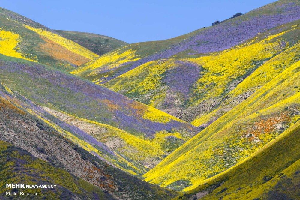 صور جميلة من جمال ورود الربيع في مناطق مختلفة من العالم