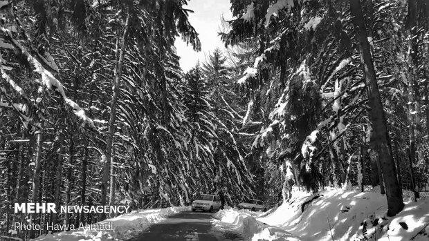جنگل کاج لاجیم