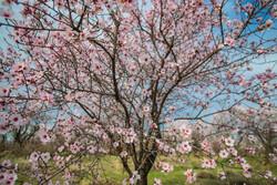 شکوفه در میان باغستان
