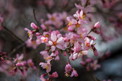 بہار کی آمد پر شکوفوں نے کھلنا شروع کردیا