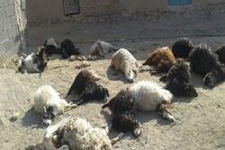 کشف و امحاء دامهای مرده در یک واحد کشتار در کرمانشاه