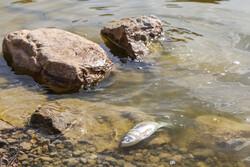 ماهیان بند عبدلآباد بجنورد به دلیل کمبود اکسیژن تلف شدند