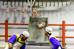 هیچ کشتارگاهی در استان مرکزی حق توقف کشتار مرغ را ندارد