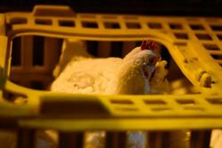 کشف ۱۴ تن مرغ زنده خارج از شبکه توزیع در ایلام