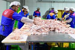 مرغ تک نرخی است/ انجام ۱۲۵ میلیون قطعه جوجه ریزی