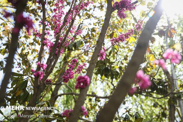 منظر أزهار الربيع في مدينة طهران