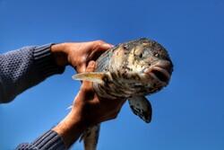 کۆتایی وەرزی راوە ماسی لە باکووری ئێران