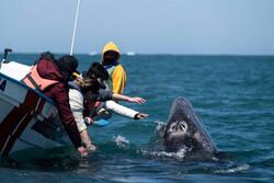نوازش نهنگ خاکستری در مکزیک