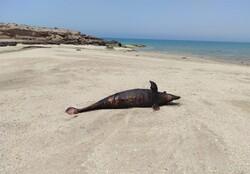 ۹۰ در صد مرگ دلفین ها به علت فعالیت صید وصیادی است