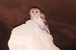 یک گونه کمیاب جغد در استان بوشهر رصد و ثبت شد