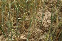 عملیات مبارزه همگانی با آفت سن غلات در ۱۸۰۰ هکتار مزارع سمنان
