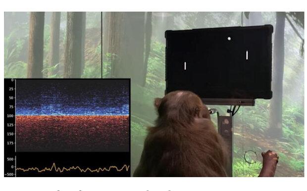 میمونی که با مغزش روی نمایشگر پینگ پنگ بازی می کند