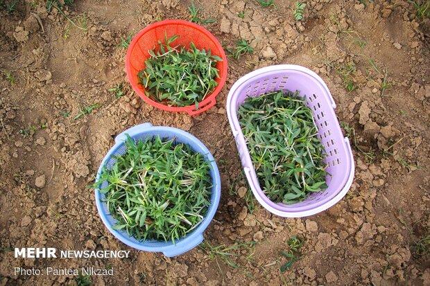 مائدة من نباتات الايرانية في الربيع