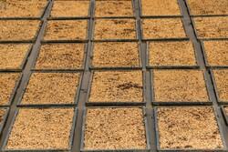 دانش هستهای و خودکفایی در تولید برنج/ کشت ارقام «روشن» و «شهریار»