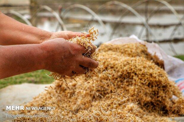 برنج های جوانه زده را با دست باز میکنند تا ریشه های به همچسبیده از هم جدا شود