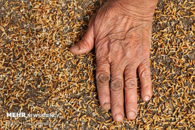 آماده سازی و خزانهگیری برنج در دودانگه ساری