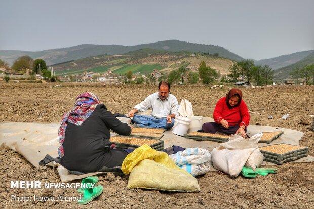 جوانه برنج ها به داخل سینی خاک پاشیده می شود.