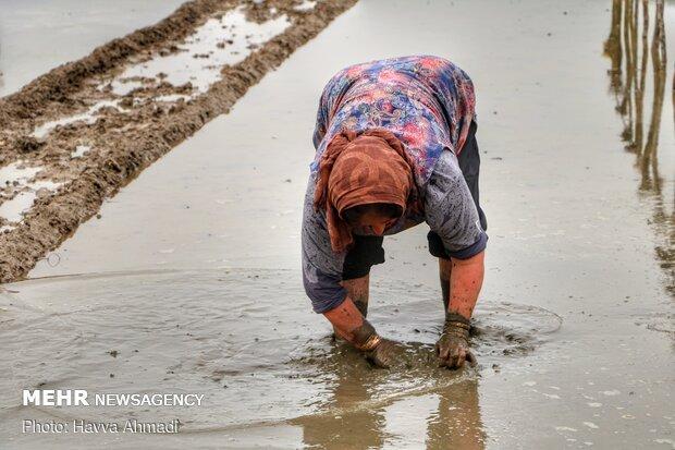 ماله زدن تیم جار ، زمینی که قرار است جوانه های برنج در آن قرار بگیرند.