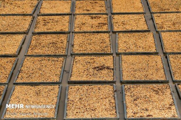 دانه های برنج بسته به نوع اجرا نشا سنتی و یا دستگاهی در هراُولی قرار میگیرد.