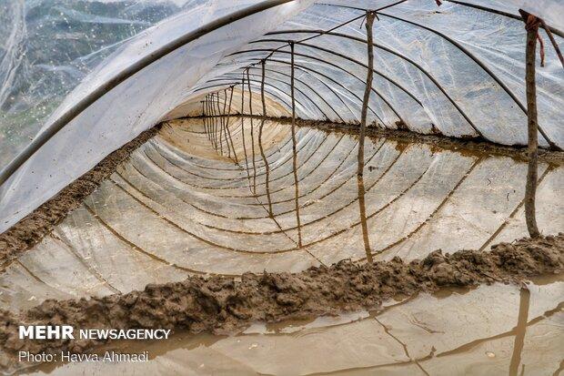 در نشا سنتی دانه ها بر روی زمین کشت می شوند.