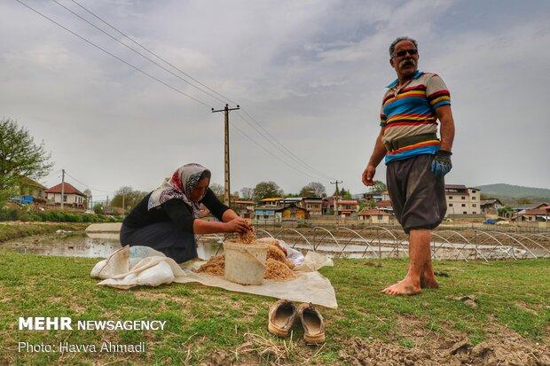 جوانه برنج ها برای پاشیدن در سبد یا روی زمین به داخل سطل ریخته می شود
