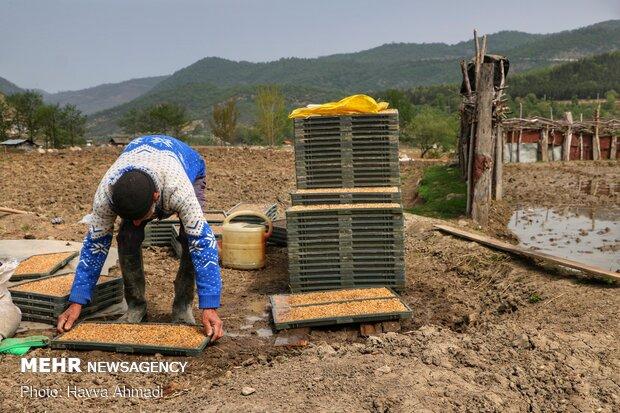 چیدن سینی روی هم و آماده سازی آن برای بردن در زمین شالیزاری