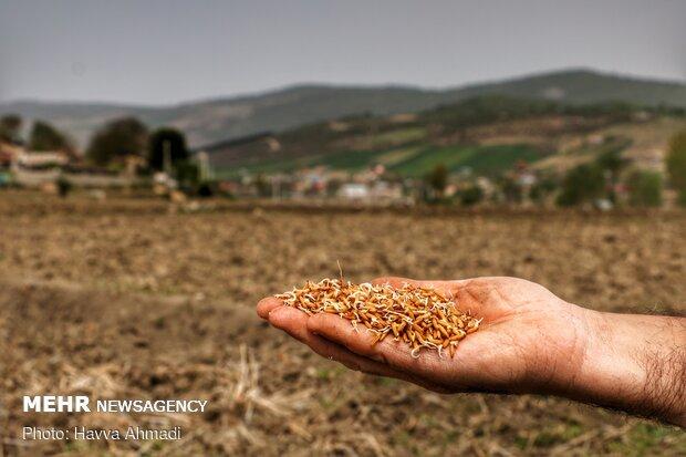 جوانه برنج آماده خزانه گیری