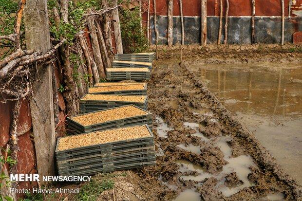 سینی جوانه های برنج آماده برای وارد نمودن در زمین کشاورزی