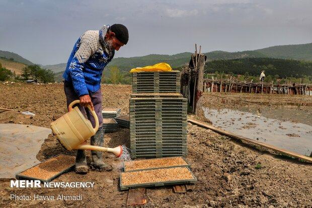 آب دادن جوانه پس از چیدمان آن در سینی انجام می شود.