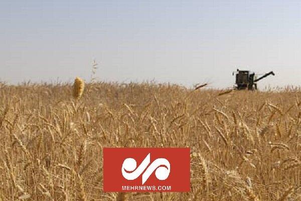 İran'ın güneyinde buğday hasadı başladı