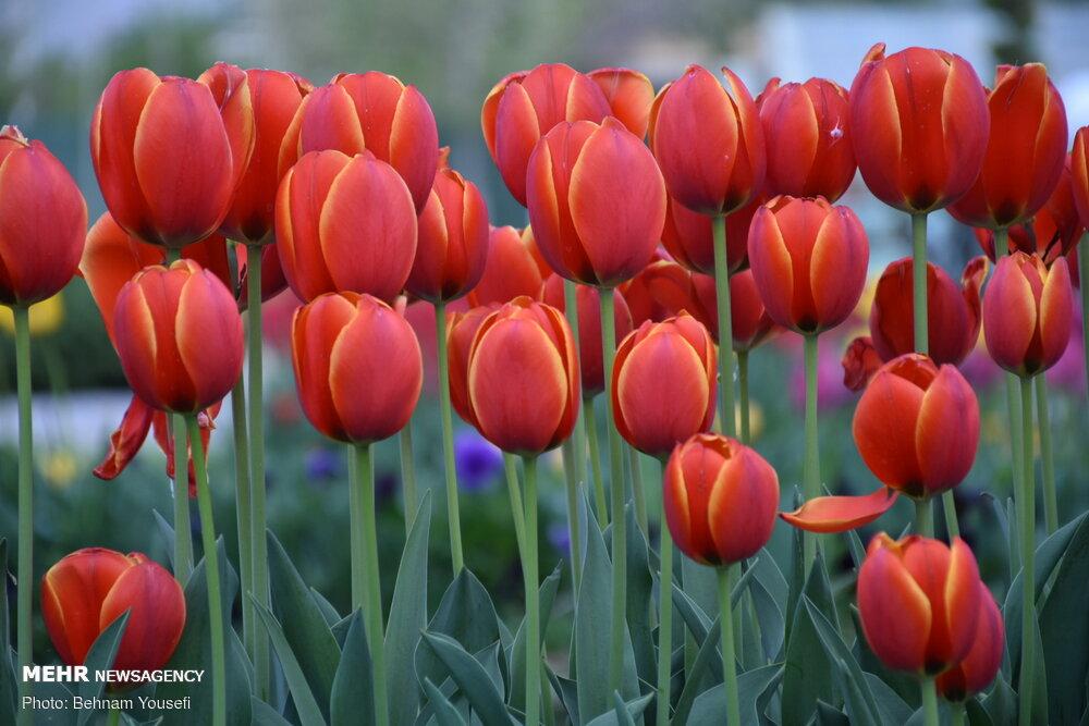 جشنواره گل لاله در اراک
