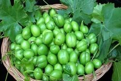 کاهش برداشت گوجه سبز از باغات سرپل ذهاب به دلیل سرمازدگی