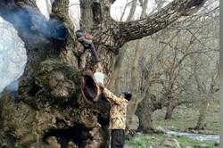 قطع درخت ۷۰۰ ساله گردو در منطقه «کهمان»