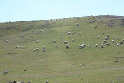 ورود پیش از موعد دام به مراتع آذربایجانشرقی ممنوع است
