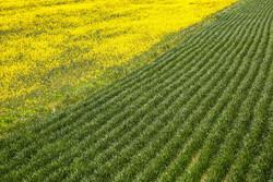 بجنورد میں سرسوں کے کھیت کے قدرتی اور شاندار مناظر