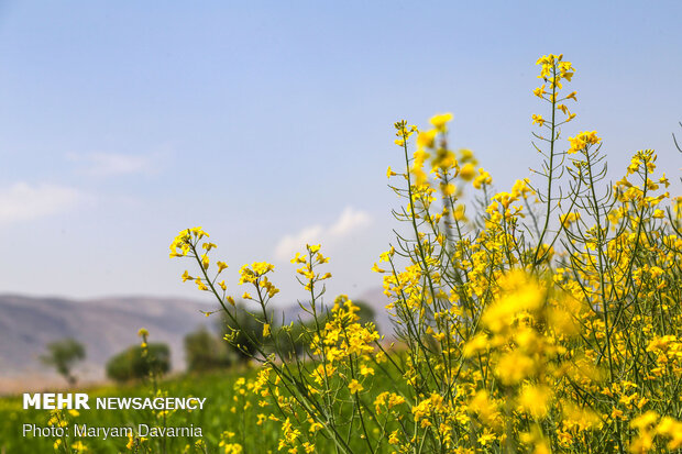 Rapeseed fields in Bojnurd