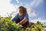 روزه داری و کشاورزی حاج حسین ۸۰ ساله