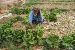 80 سال کے حسین اصغر روزے کی حالت میں زراعت میں مشغول