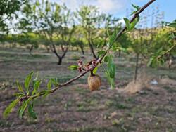 احتمال سرمازدگی محصولات باغی در اردبیل/مسیلها سیلابی میشوند