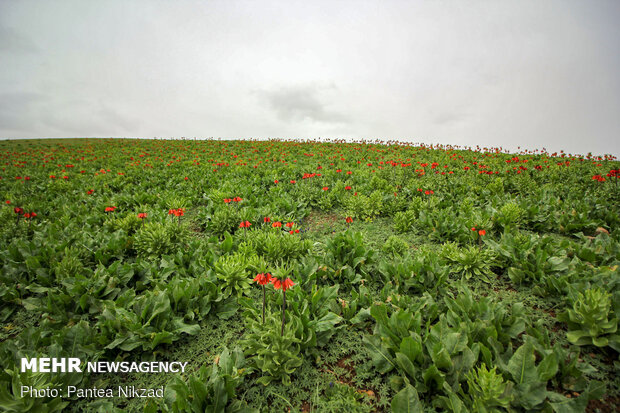 Breathtaking scenery of inverted tulips in Kuhrang
