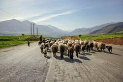 اختصاص ۵۰ میلیارد ریال تسهیلات به زنجیره گوشت قرمز عشایر خوزستان