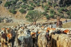اقدامات دولت برای کاهش آثار خشکسالی در جامعه عشایری/ نگران حذف دام های مولد هستیم