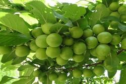 برداشت ۱۸۰۰ تن نوبرانه گوجه سبز از باغات کرمانشاه