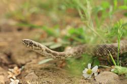 رهاسازی یک حلقه مار در منطقه حفاظت شده دینارکوه آبدانان