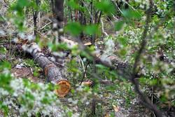 قطع پراکنده درختان جنگلی در آمل