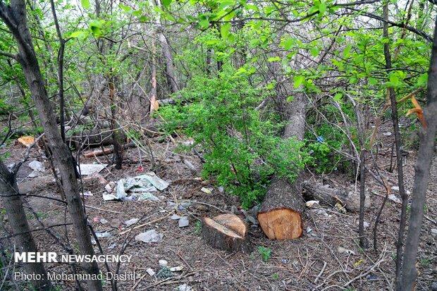 قطع درختان باغ شریعت اردبیل